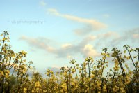 2010 ~ Canola Fields